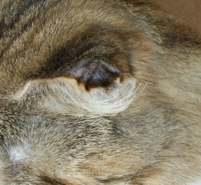 blutohr beim hund behandlung